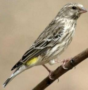 Burung black throat canary #black throat finch