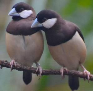 Burung dusky finch sparrow timo2 leste