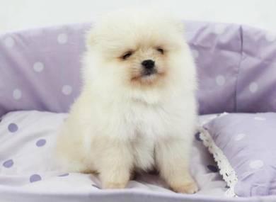 Lovely Taiwan Pomeranian Puppy With MKA Cert