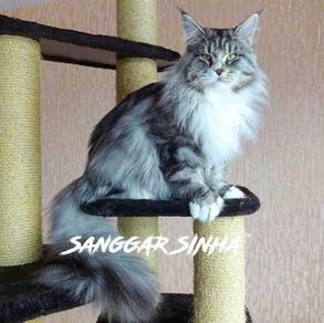 Mainecoon Kitten Find And Buy Almost Anything In Malaysia Mudah My