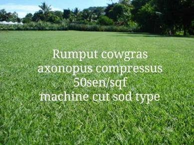 Rumput cowgrass axonopus compressus gred A