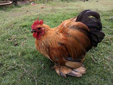 Ayam Pekin Dewasa