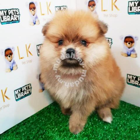 Pom Puppy, 6 Weeks, Male, Sable Brown - Pets for sale in Damansara, Kuala  Lumpur