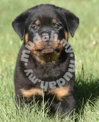 Pure Breed Rottweiler Puppy Male Pets For Sale In Setia Alam