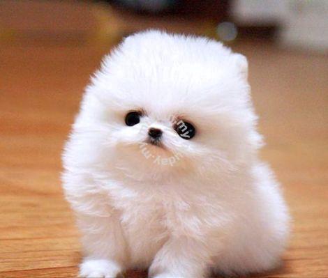 Amazing Pomeranian teacups puppies - Tickets & Vouchers for sale in Senai,  Johor