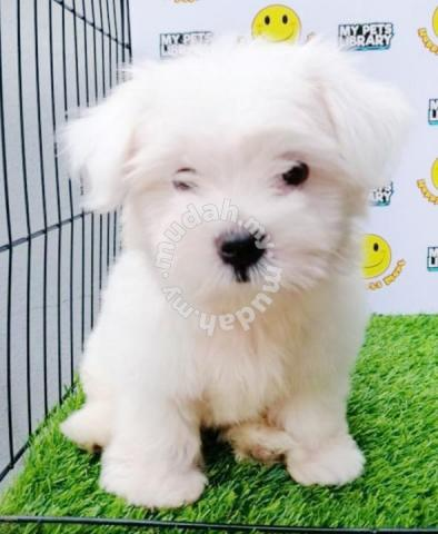 Maltese Puppy, White, 2 5 Months, Male - Pets for sale in Puchong, Selangor