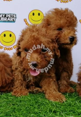 Toy Poodle #Red #Male Puppies