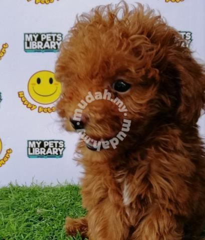 Toy Poodle #Red #Male 3