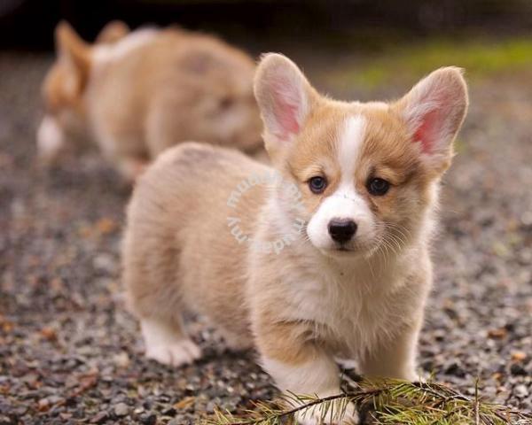 Cute Corgi Puppy Taiwan Import Kct Mka Pets For Sale In Setia Alam Selangor Mudah My