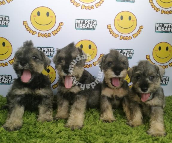 Miniature Schnauzer Male Puppies Pets For Sale In Puchong