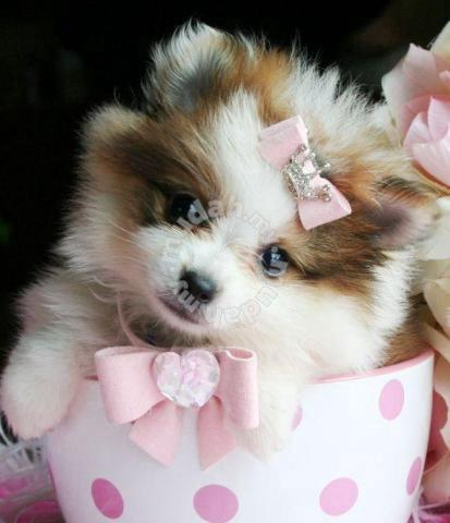 Beautiful Pomeranian Teacups Puppies - Clothes for sale in Tawau, Sabah