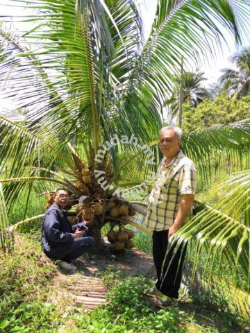 Benih kelapa mawar king/sgg asli - Garden Items for sale ...