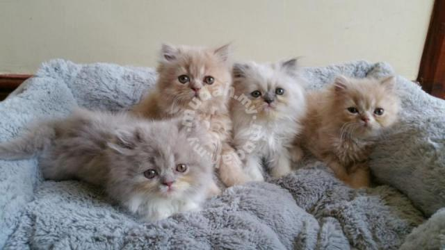 Beautiful Pedigree Persian Kittens - Pets for sale in Others, Terengganu