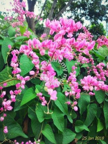 Bunga Air Mata Pengantin Makanan Kelulut Garden Items For Sale In Jelebu Negeri Sembilan