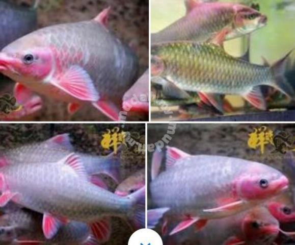 Rainbow Kelah Kelah Vietnam Pets For Sale In Ampang Selangor Mudah My