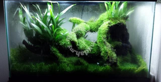 Moss for aquascape,terrarium, vivarium, paludarium - Pets ...