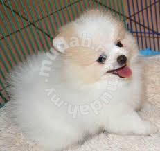 Adorable Pomeranian Teacups Puppies - Clothes for sale in Tawau, Sabah