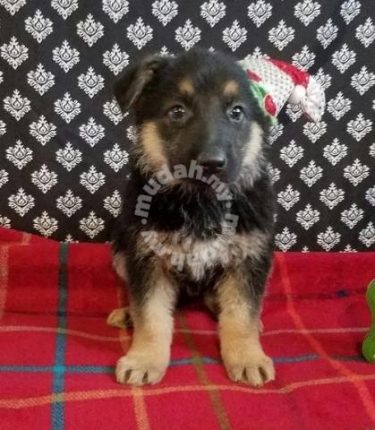 German shepherd for sale in johor