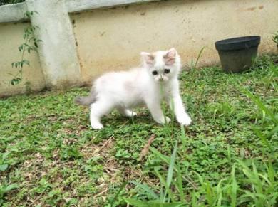 Fluffy Brown Kitten