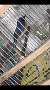 Burung Murai buluh