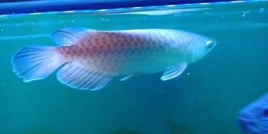 Arowana green silver ikan fish