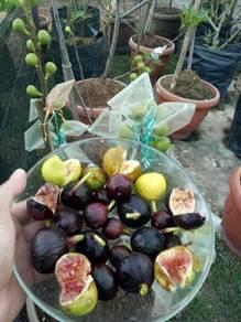 Figs Pokok Buah Tin