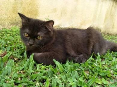 Dark Coffee Brown Turkish Van Kitten