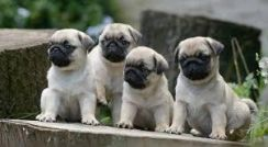 Pure Breed Pug Puppy