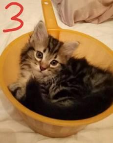 Kitten Anak Kucing Cat
