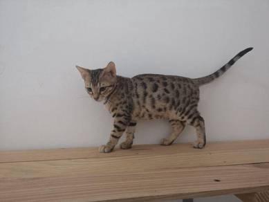Anak kucing bengal kitten 3 bulan