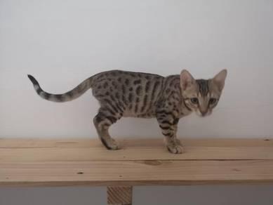 Bengal kitten anak kucing bengal