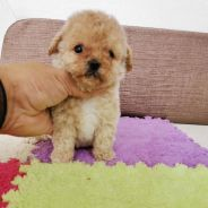 Parti Colour Super Tiny Poodle puppy * FEMALE