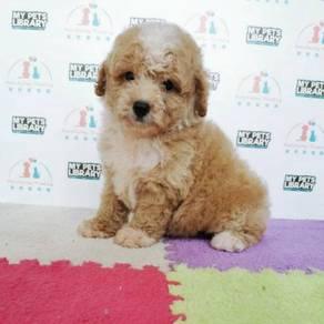 Cute Toy Poodle Puppy * BOY / MALE