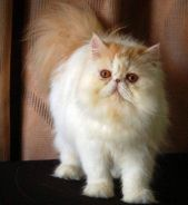 Highnose persian