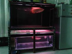Tank aquarium with arowana blood red & chili red