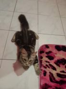 American Shorthair ASH kitten Male