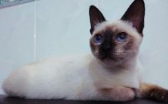 Mix Siamese Cat for Adopt