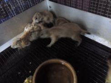 Prairie Dog (Baby)