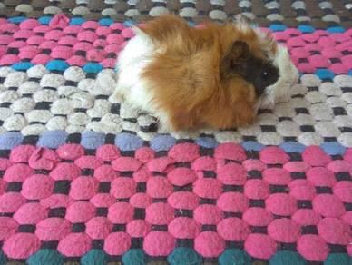 Home breed guinea pig
