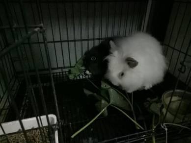 Angola rabbit adult