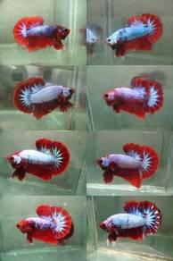 HMPK Betta Fish Wholesale !!!