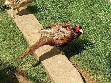Ring-necked Pheasant (1 pair)