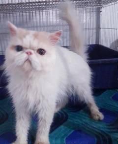 Rare Odd eyes highnose persian