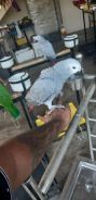 Burung African grey jinak siap lesen
