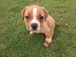 Pure Breed American Bully Puppy (Female)
