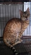 Female bengal ready for mating