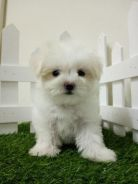 Maltese Puppy With MKA Cert