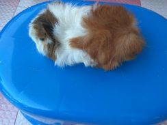 Home breed abbysian guinea pig