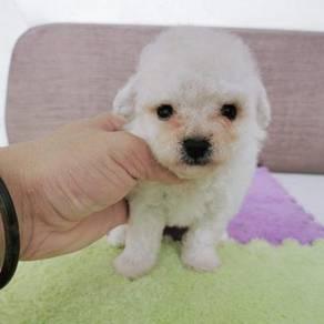 White Toy Poodle Puppy * BOY
