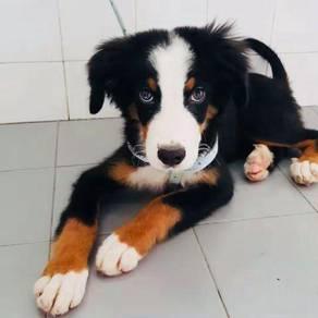 Pure Bernese Mountain Puppy - 4 mths